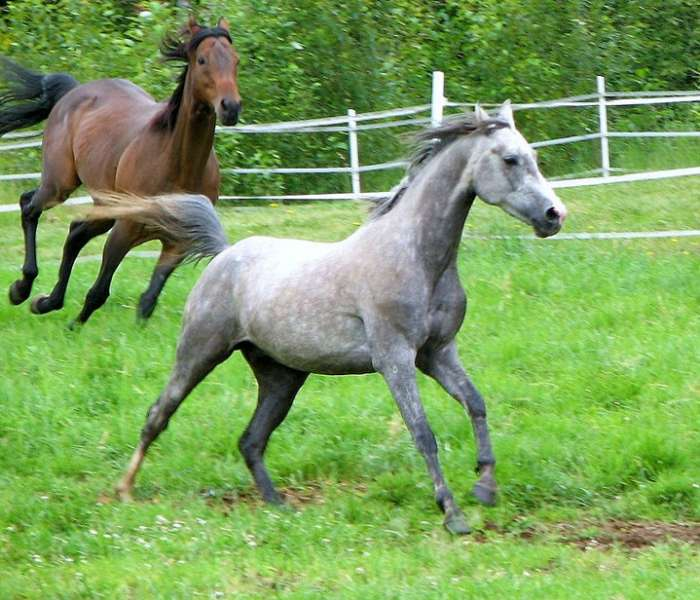 Running in NSAE's pastures in summer: Da Vinci and Bayberry
